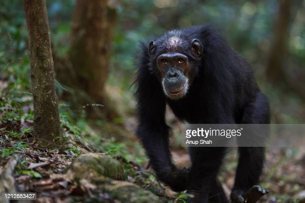 eastern chimpanzee female 'sparrow' aged 56 years walking - female animal stock pictures, royalty-free photos & images