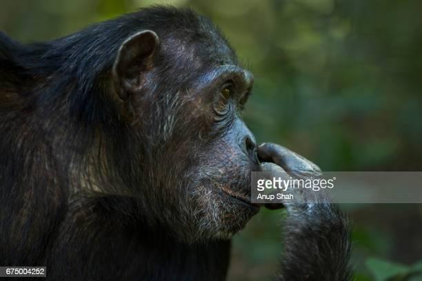 Eastern chimpanzee female 'Tanga' aged 23 years portrait