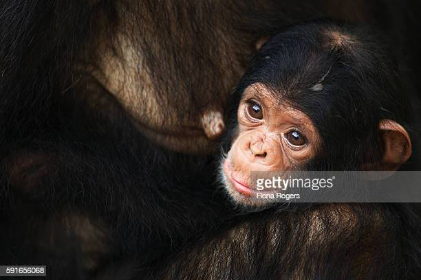 Eastern chimpanzee first born baby of 'Golden' a female aged 2 months being held by her mother