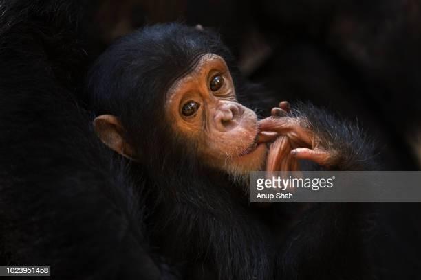 Eastern chimpanzee infant female 'Gossamer' aged 16 months portrait