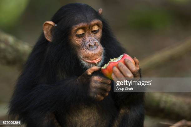 eastern chimpanzee infant female 'tabora' aged 5 years feeding on a mango - mammal stock pictures, royalty-free photos & images