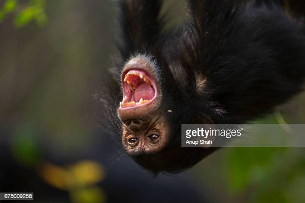 eastern chimpanzee infant female 'tabora' aged 5 years hanging in  a tree yawning - chimpanzee teeth stock pictures, royalty-free photos & images