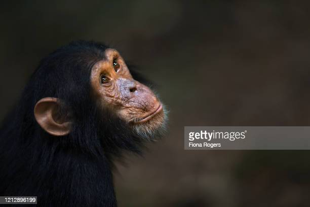 eastern chimpanzee infant make 'google' aged 5 years portrait - google stock pictures, royalty-free photos & images