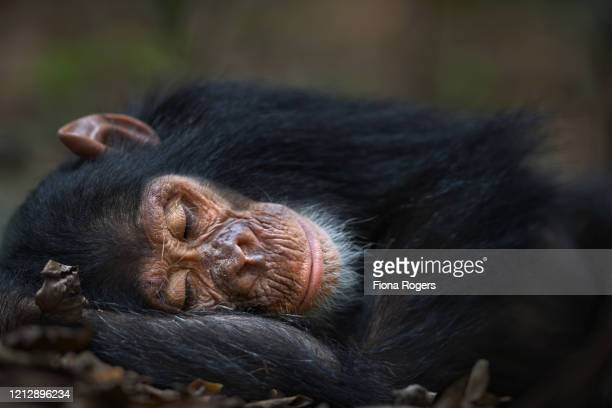 eastern chimpanzee infant make 'google' aged 5 years sleeping - google stock pictures, royalty-free photos & images
