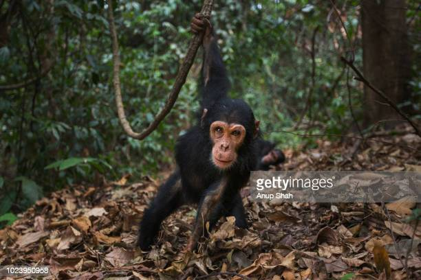 eastern chimpanzee infant male 'fifty' aged 3 years swinging from a liana - primate stock pictures, royalty-free photos & images