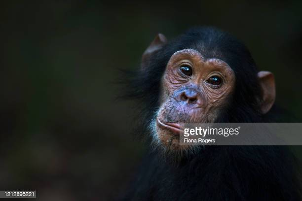 eastern chimpanzee infant male 'google' aged 5 years portrait - google stock pictures, royalty-free photos & images