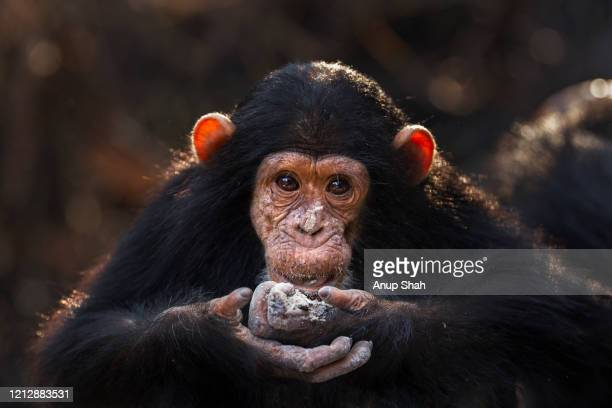 eastern chimpanzee infant male 'ipo' aged 5 years feeding on charcoal from a fire - fire ape stock-fotos und bilder