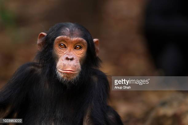 eastern chimpanzee juvenile female 'fadhila' aged 5 years portrait - chimpanzee stock pictures, royalty-free photos & images