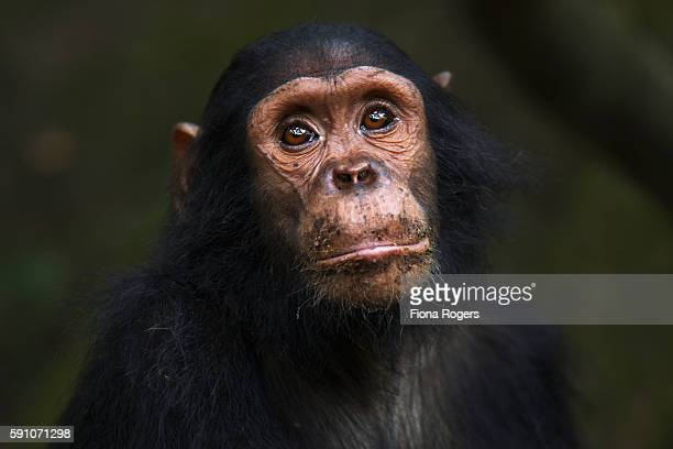 Eastern chimpanzee juvenile male 'Gimli' aged 7 years head and shoulders portrait