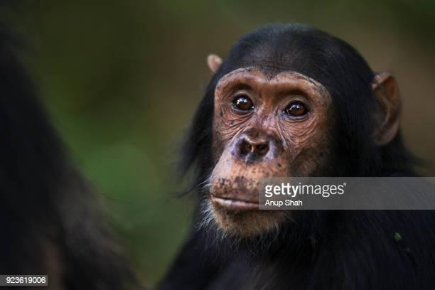 Eastern chimpanzee juvenile male 'Gimli' aged 9 years portrait