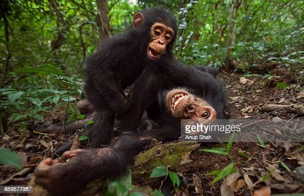 eastern chimpanzee juvenile male gimli with gizmo - chimpanzee teeth stock pictures, royalty-free photos & images