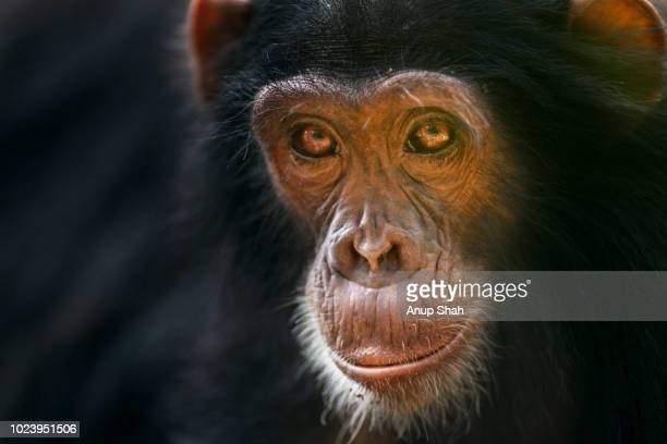 Eastern chimpanzee juvenile male 'Siri' aged 6 years portrait