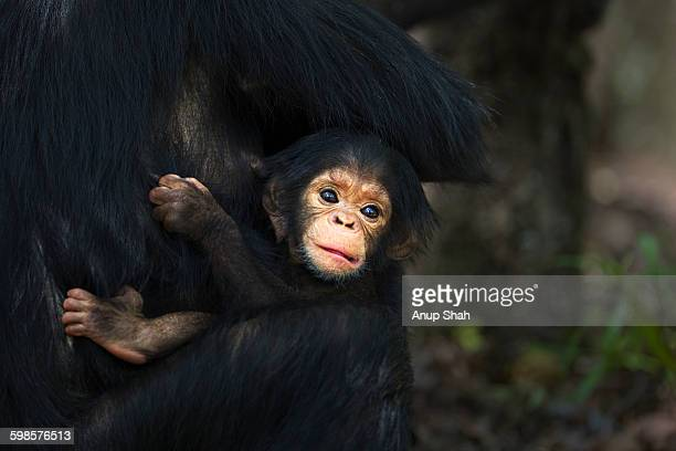 Eastern chimpanzee male baby son of 'Dilly'
