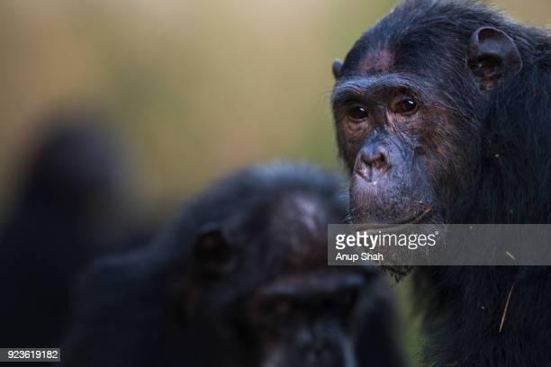 Eastern chimpanzee male 'Faustino' aged 24 years portrait