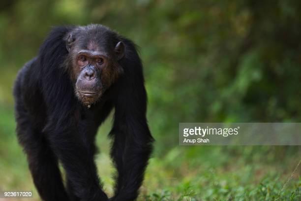 Eastern chimpanzee male 'Faustino' aged 24 years walking along a trail