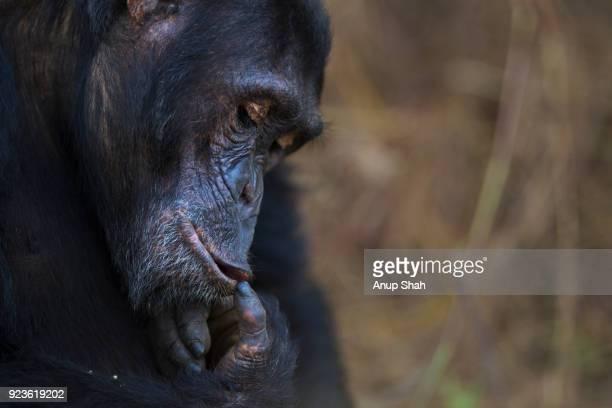 Eastern chimpanzee male 'Fudge' aged 16 years portrait