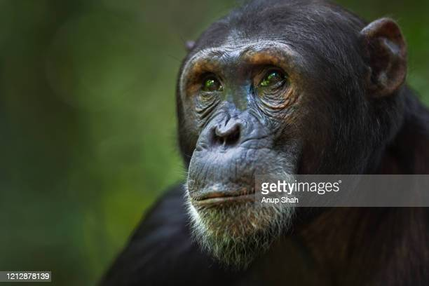eastern chimpanzee male 'fudge' aged 17 years portrait - great ape stock pictures, royalty-free photos & images