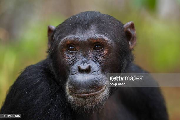 eastern chimpanzee male 'fudge' aged 17 years portrait - chimpanzee stock pictures, royalty-free photos & images