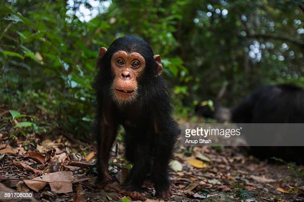 Eastern chimpanzee male infant 'Google' aged 2 years approaching with curiosity