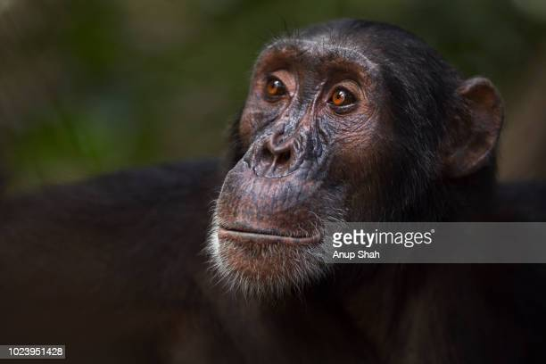 Eastern chimpanzee male 'Sampson' aged 17 years portrait