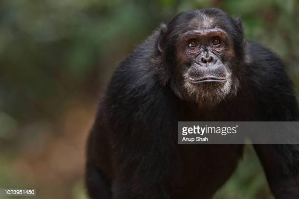 Eastern chimpanzee male 'Titan' aged 19 years portrait