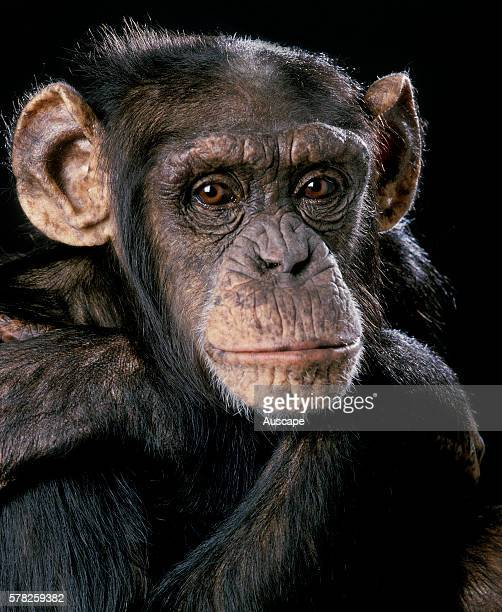 Eastern chimpanzee Pan troglodytes schweinfurthii portrait eyeing photographer Native to Africa