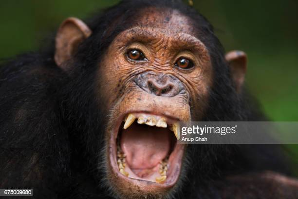 eastern chimpanzee sub-adult male 'tarzan' aged 12 years yawning portrait - chimpanzee teeth stock pictures, royalty-free photos & images