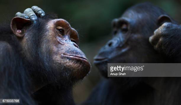 Eastern chimpanzee twins 'Golden' and 'Glitter' aged 14 years grooming