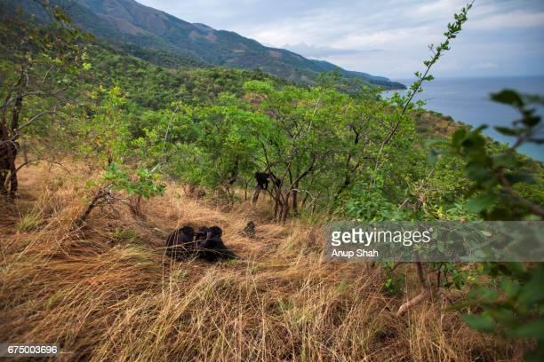 Eastern chimpanzees in grassland overlooking Lake Tanganyika