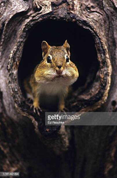 eastern chipmunk, tamias striatus, in hole of tree trunk. found in eastern us and spends winter sleeping in burrow. does not hibernate - 冬眠 ストックフォトと画像