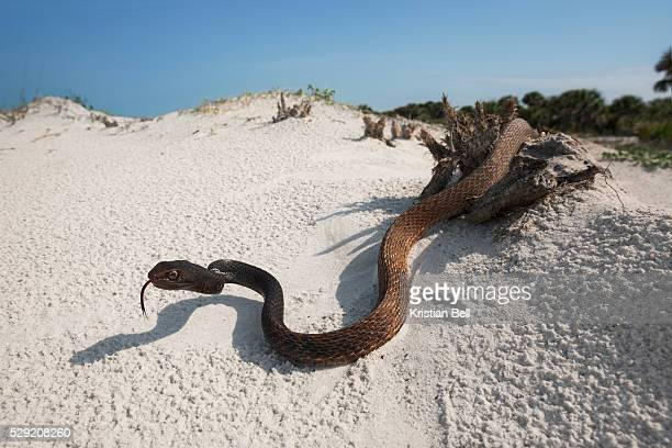 Eastern Coachwhip (Masticophis flagellum flagellum) on gulf coast beach