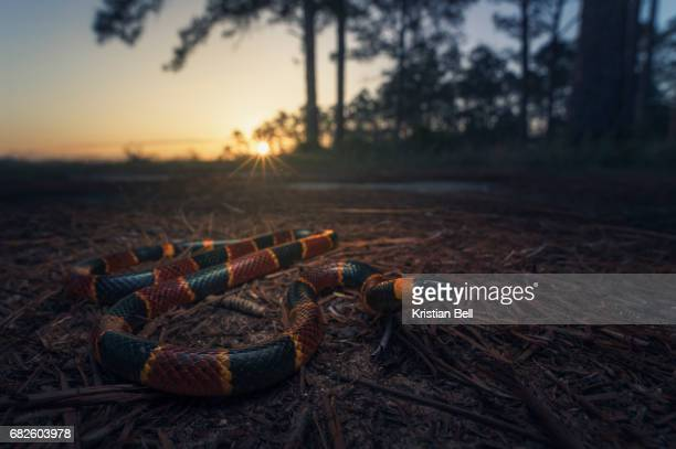 eastern coral snake (micrurus fulvius) at dusk in florida pine woodlands - coral snake stock pictures, royalty-free photos & images