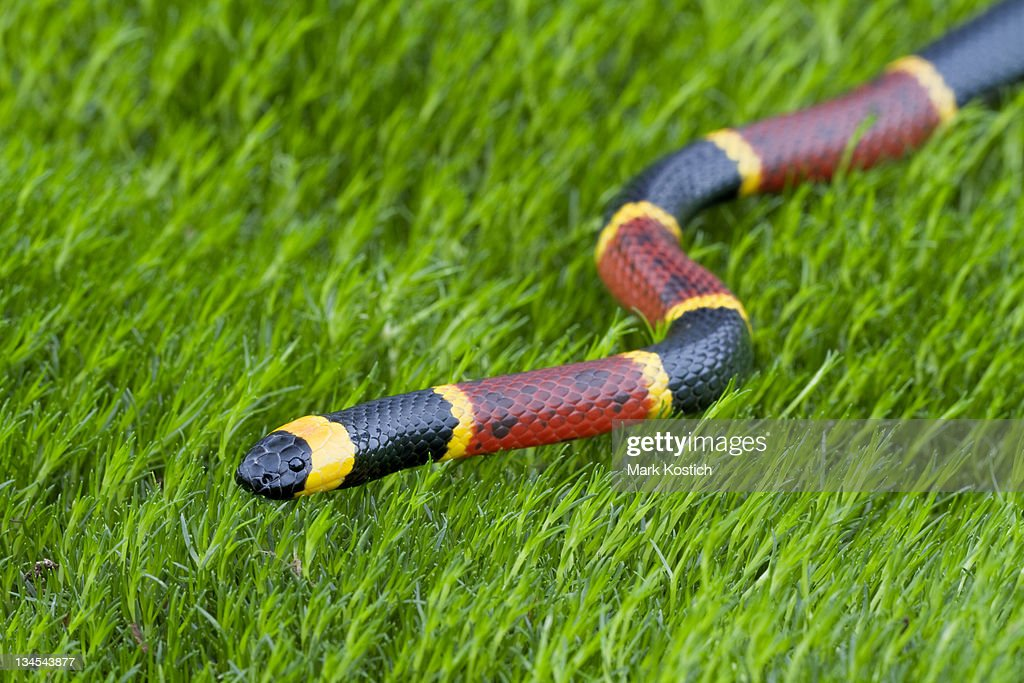 Eastern Coral Snake : Stock Photo