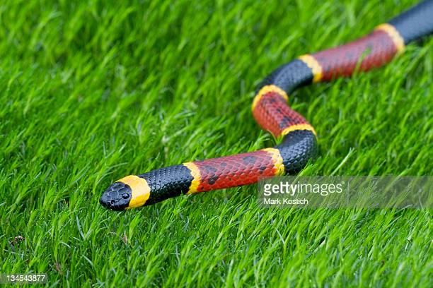 eastern coral snake - coral snake stock pictures, royalty-free photos & images