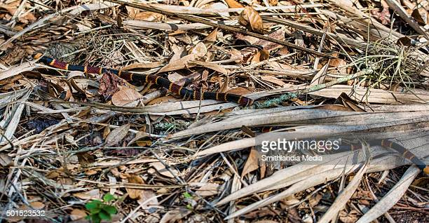 eastern coral snake slitherin' - micrurus fulvius - coral snake stock pictures, royalty-free photos & images