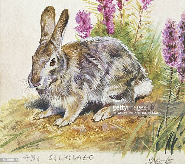 Eastern Cottontail illustration