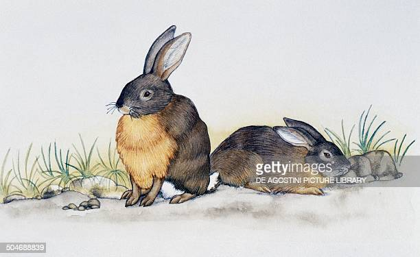 Eastern Cottontail Leporidae drawing