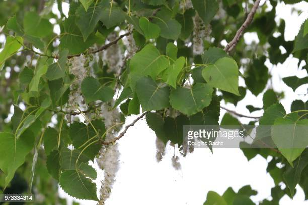 Eastern Cottonwood Tree with springtime pollen (populus deltoides)