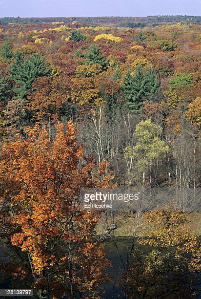 eastern deciduous forest in autumn with white pine trees, muskegon river, newaygo, michigan, usa (si) - eastern white pine stock pictures, royalty-free photos & images