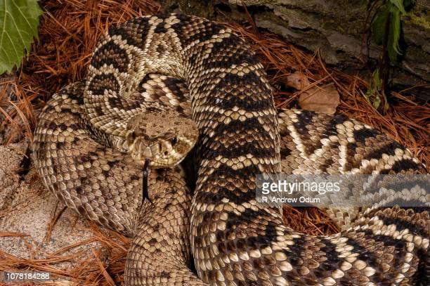 eastern diamondback - eastern diamondback rattlesnake stock pictures, royalty-free photos & images
