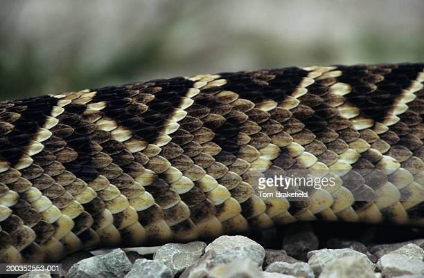 eastern diamondback rattlesnake (croatalus adamanteus), close-up of body, kentucky - eastern diamondback rattlesnake stock pictures, royalty-free photos & images