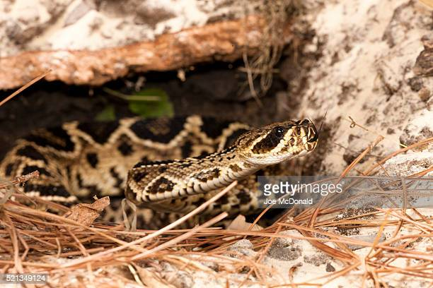 eastern diamondback rattlesnake, crotalus adamanteus, in controlled situation, central pa, usa - eastern diamondback rattlesnake stock pictures, royalty-free photos & images
