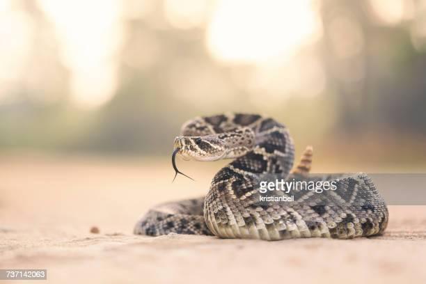 eastern diamondback rattlesnake (crotalus adamanteus), florida, america, usa - diamondback rattlesnake stock pictures, royalty-free photos & images