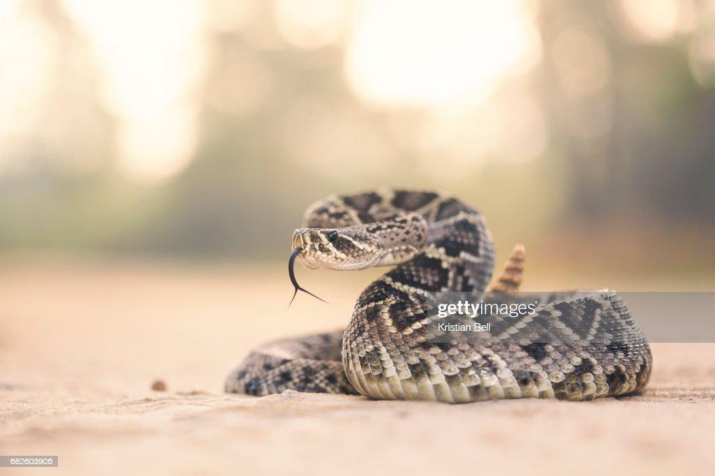 Eastern Diamondback Rattlesnake (Crotalus adamanteus) in Florida : Stock Photo