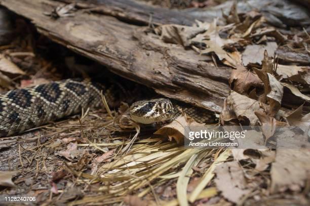 A eastern diamondback rattlesnake moves through its enclosure on February 1 2019 at the Atlanta zoo in Atlanta Georgia