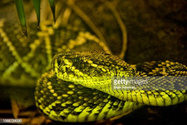 eastern diamondback rattlesnake - eastern diamondback rattlesnake stock pictures, royalty-free photos & images