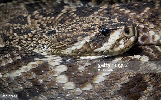 eastern diamondback rattlesnake (crotalus adamanteus) - eastern diamondback rattlesnake stock pictures, royalty-free photos & images