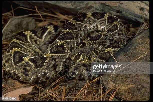 eastern diamondback rattlesnake - diamondback rattlesnake stock pictures, royalty-free photos & images