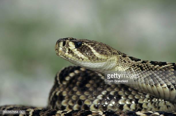 eastern diamondback rattlesnake (croatalus adamanteus), ready to strike, kentucky - eastern diamondback rattlesnake stock pictures, royalty-free photos & images