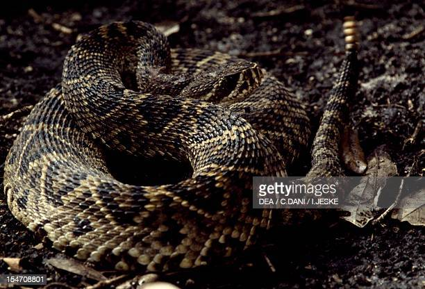 Eastern diamondback rattlesnake Viperidae Everglades National Park Florida United States